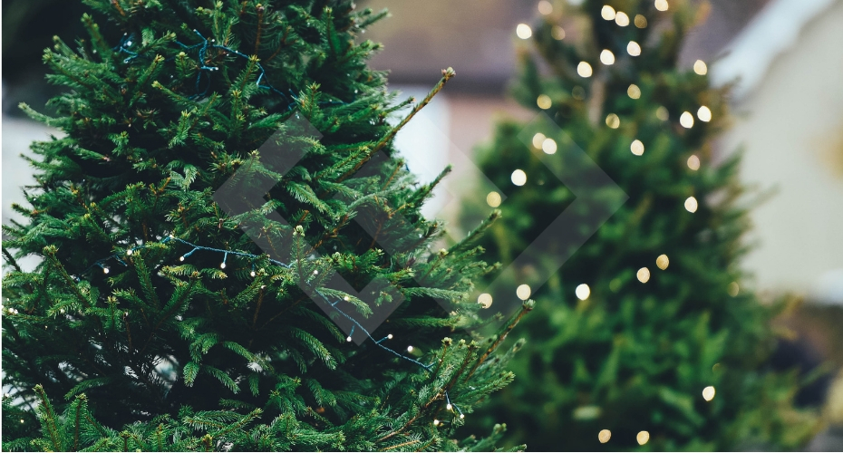 Christmas Tree, Whidbey Island,local. holiday, tree, tree farms, whidbey, windermere