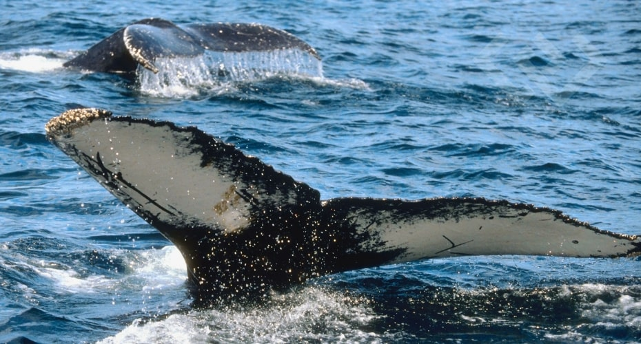 Gray Whales, Whidbey, Ocean, Sea life, whale, Washington, waters, welcome Back