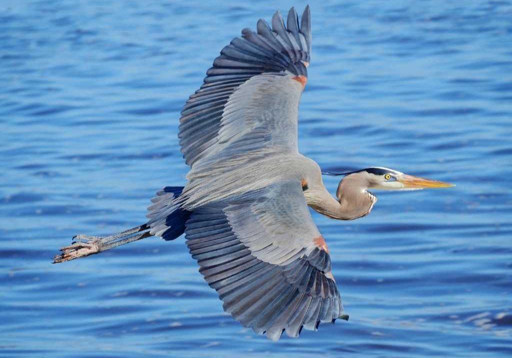 Greenbank Blue Heron
